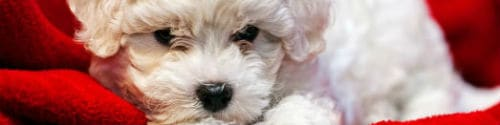 Tears stain white puppies more than dark coated puppies