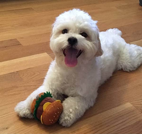 How can a Teddy Bear Shih-poo every be aggressive?