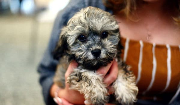 A 2-3 month old Shih-poo puppy