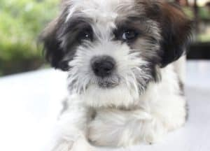 Shihpoos can make great companion dogs for autistic children