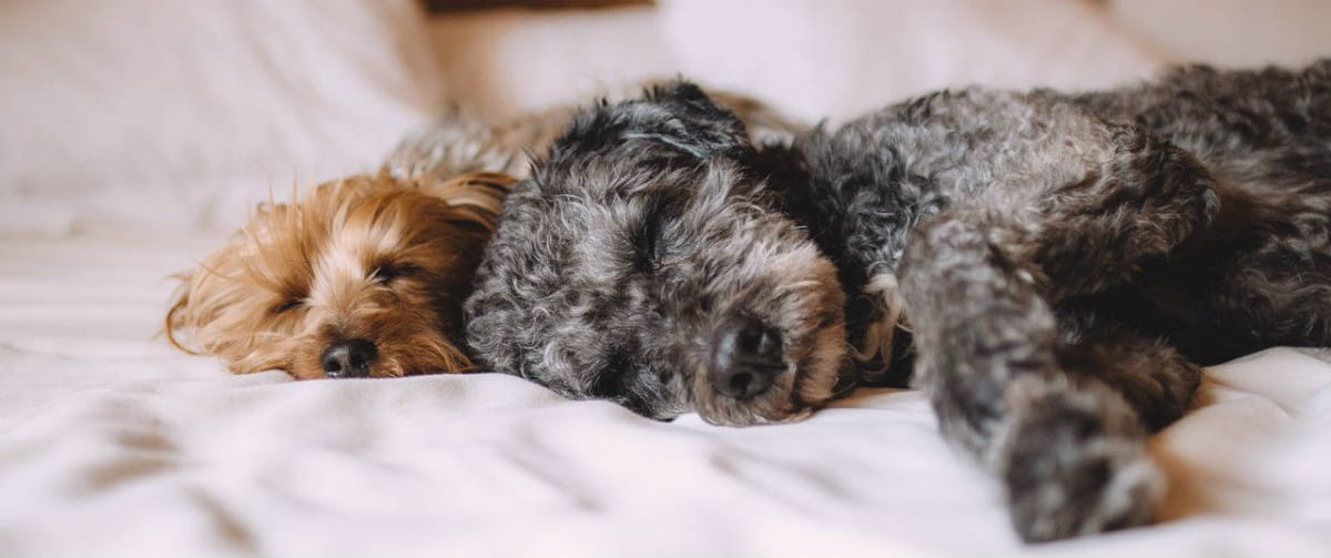 Sleeping with Your Shih-poo on Your Bed