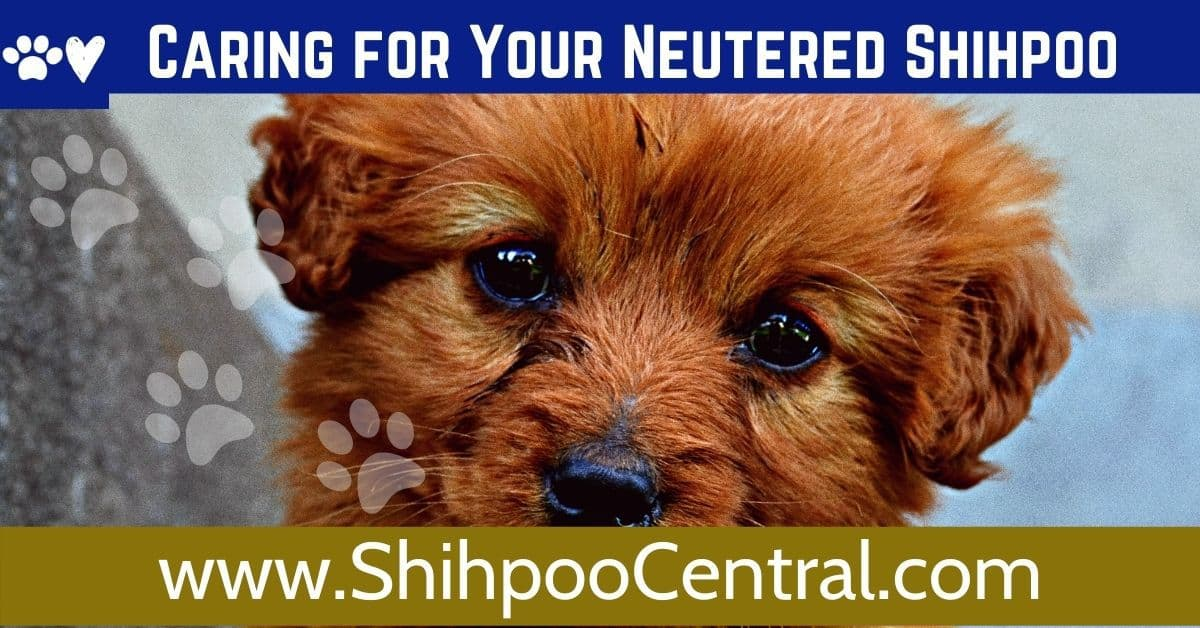 Caring for neutered or spayed Shihpoo