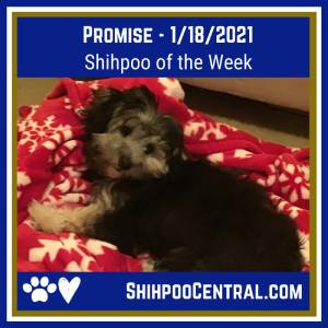 Promise the Shihpoo