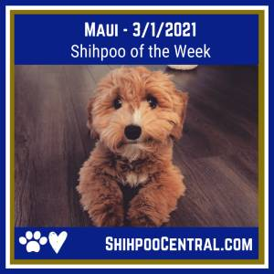 Maui's Shihpoo photo of the week for March 1, 2021