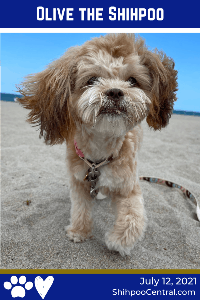 Olive the Shihpoo